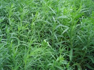 Artemisia dracunculus10
