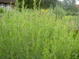 Artemisia dracunculus2