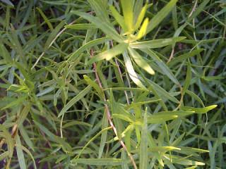 Artemisia dracunculus7