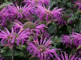 Monarda-didyma-flower-heads